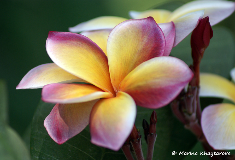 Plumeria rubra cv. George Brown