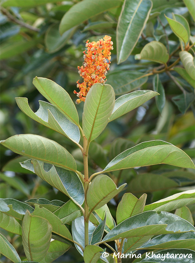 Byrsonima crassifolia