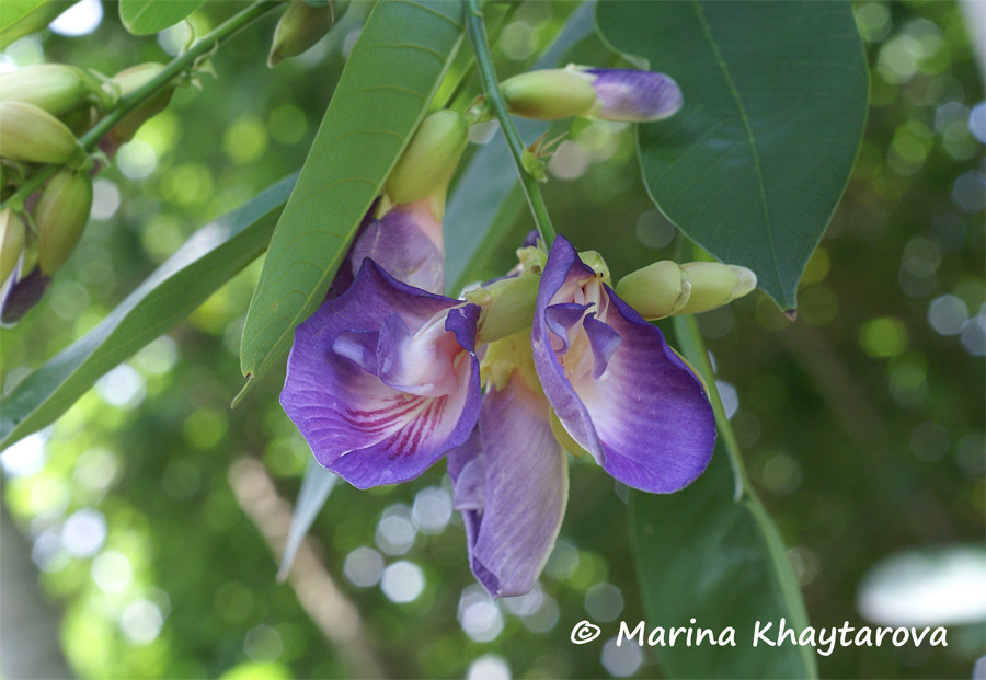 Clitoria fairchildiana