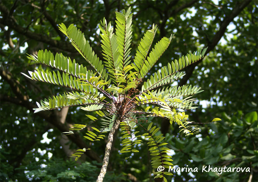 eurycoma Tongkat ali, also known as eurycoma longifolia jack or longjack, is an aphrodisiac with many benefits for sexual health and experiences related topics racetams.