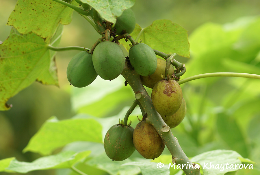 research papers on jatropha curcas Developmenrt of est-ssr and genomic-ssr markers to assess genetic diversity in jatropha curcas this work was supported by the cooperative research papers.