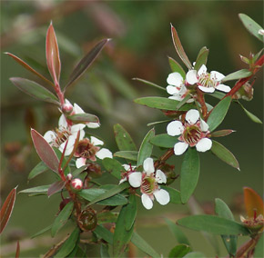 Leptospermum sp.
