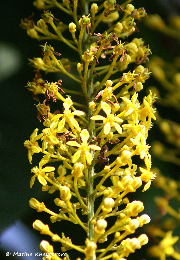 Lophanthera lactescens