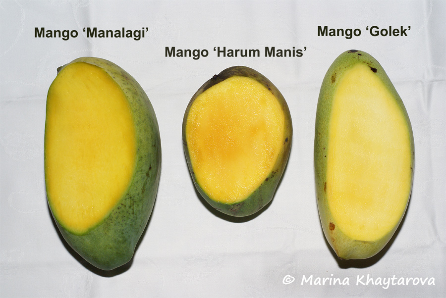 Indonesian mango