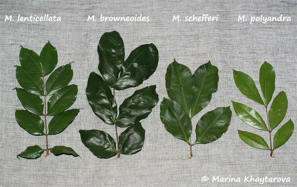 Maniltoa species leaves