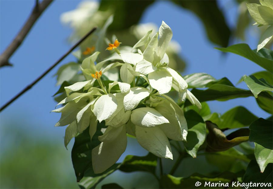 Mussaenda phillipica