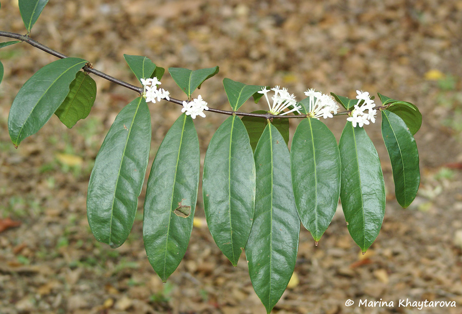 Phaleria clerodendron
