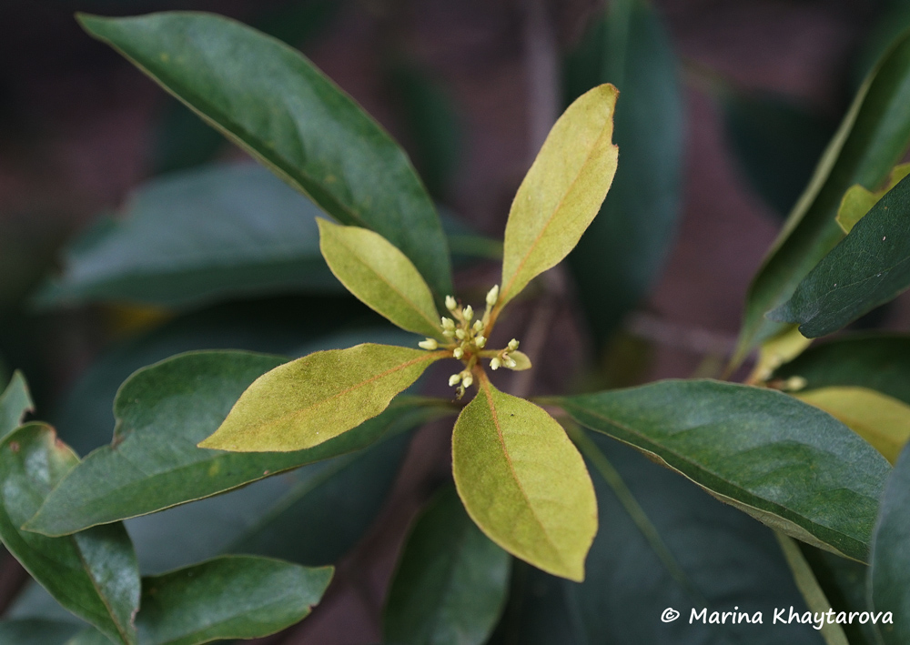 Pittosporum ferrugineum