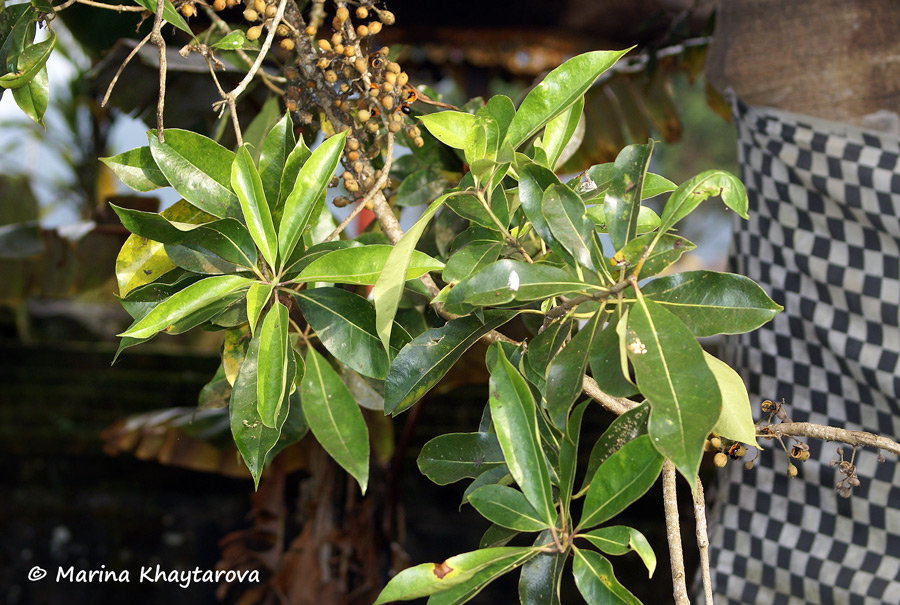Pittosporum ramiflorum