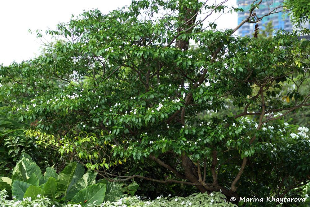 плюмерия  Цветы комнатные растения семена и саженцы