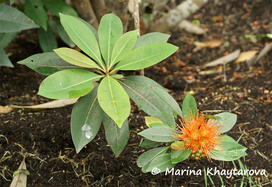 Xanthostemon chrysanthus orange